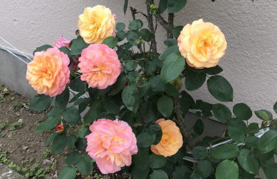 アンネのバラ2018